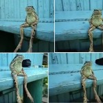 Frog sitting like a human (video)