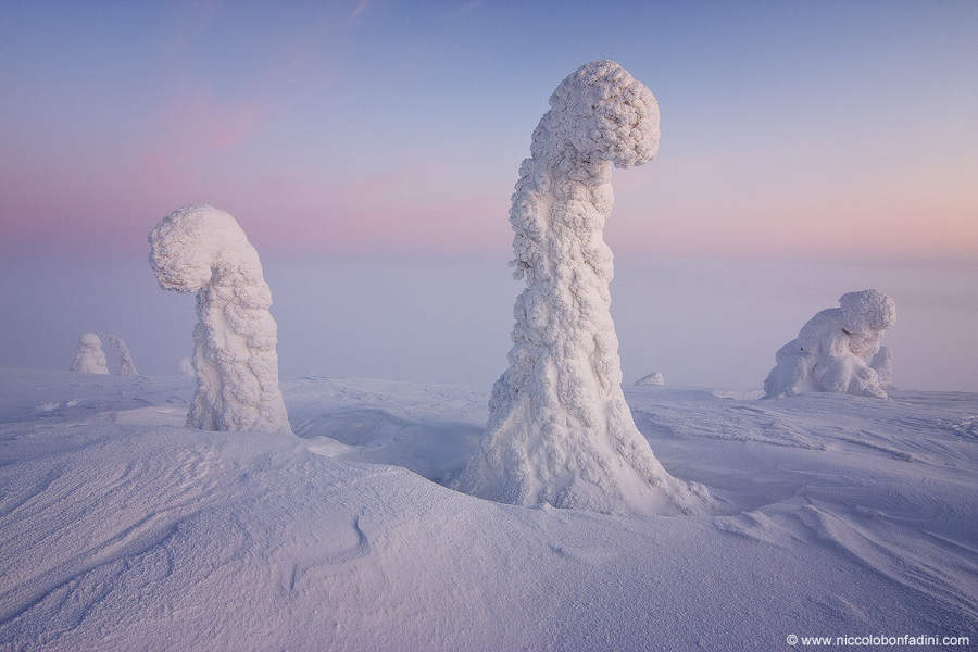 Giant trees covered in snow and ice in Finnish Lapland