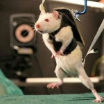Paralyzed rats Walk again (video)