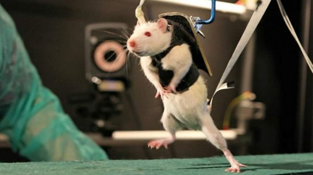 Paralyzed rats Walk again