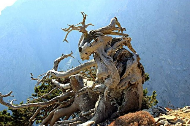 Turkish Pine in the White Mountains of Crete