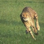 Cheetah sets new Land Speed Record (video)