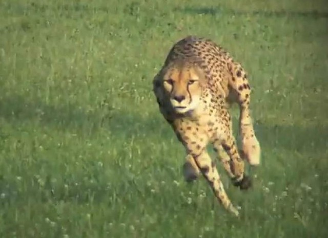 Cheetah sets new Land Speed Record