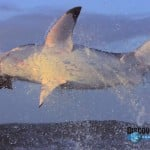 Slow Motion Shark Attack (video)