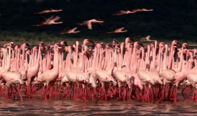 The Flame Birds of Bogoria (6)