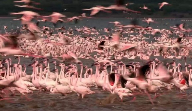 The Flame Birds of Bogoria (5)