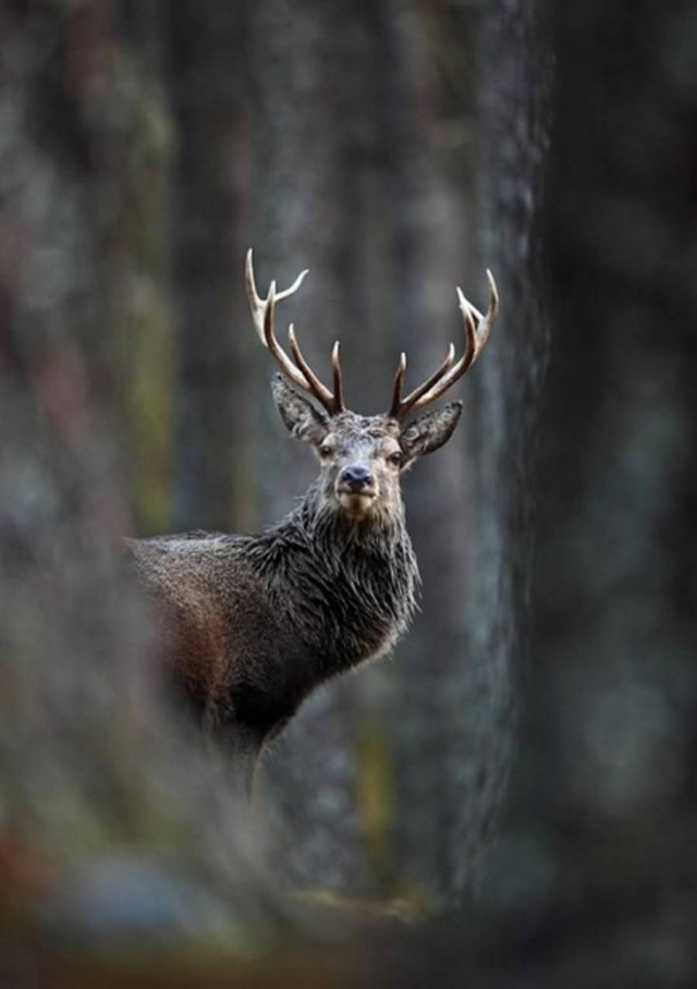 "Neil McIntyre, ""Red deer stag in pine forest"""