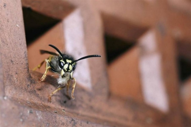Wasp house cleaning from a nest in cavity wall, by David Thomas Handley
