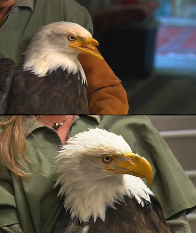 Eagle gets a new Beak created by 3D Printer