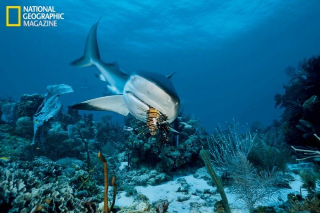 A Caribbean reef shark samples a Pacific lionfish at Cordelia Banks in Honduras