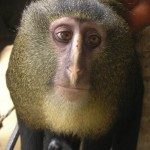 New species of monkey discovered that looks like man