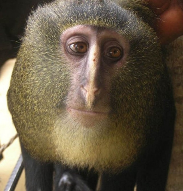 New species of monkey Lesula (Cercopithecus lomamiensis)