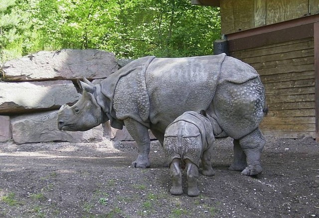 Indian rhinoceros is the species most closely related to the Javan rhinoceros