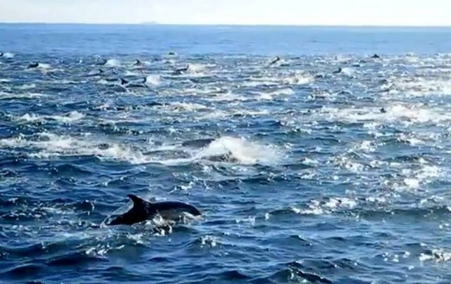Thousands of Dolphins