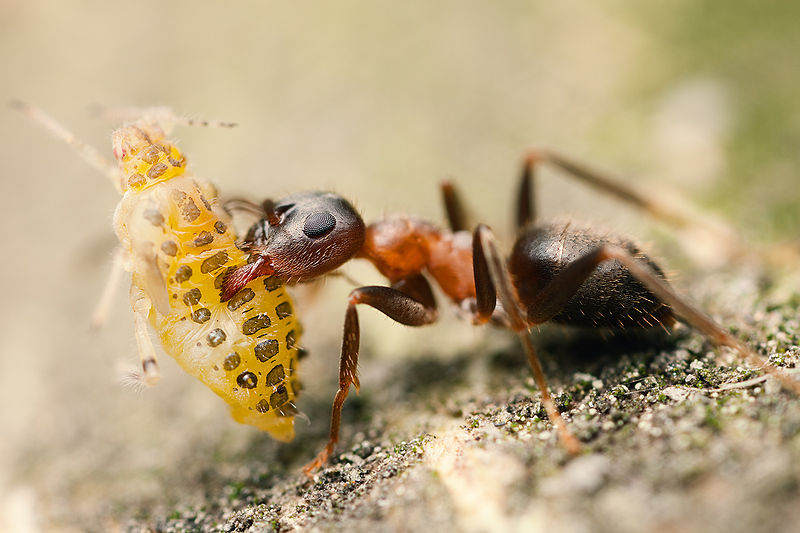 10 Incredibly Strong Insects - Ant