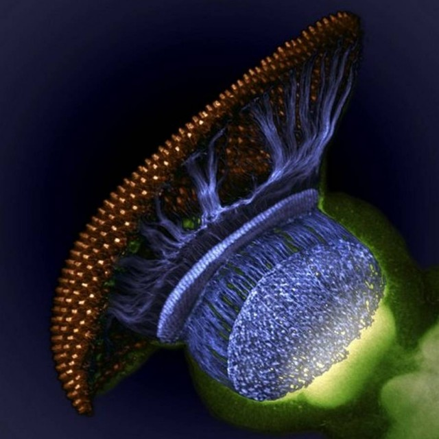 Fruit Fly Retina, photographer Dr. W. Ryan Williamson