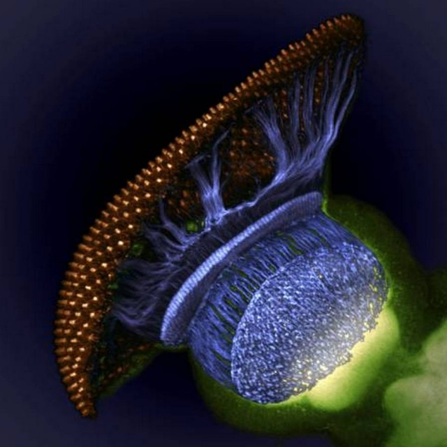 Drosophila melanogaster visual system halfway through pupal development