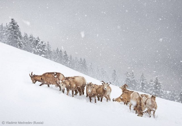 The snow herd   Vladimir Medvedev (Russia)
