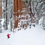 Giant Sequoias- world's largest trees