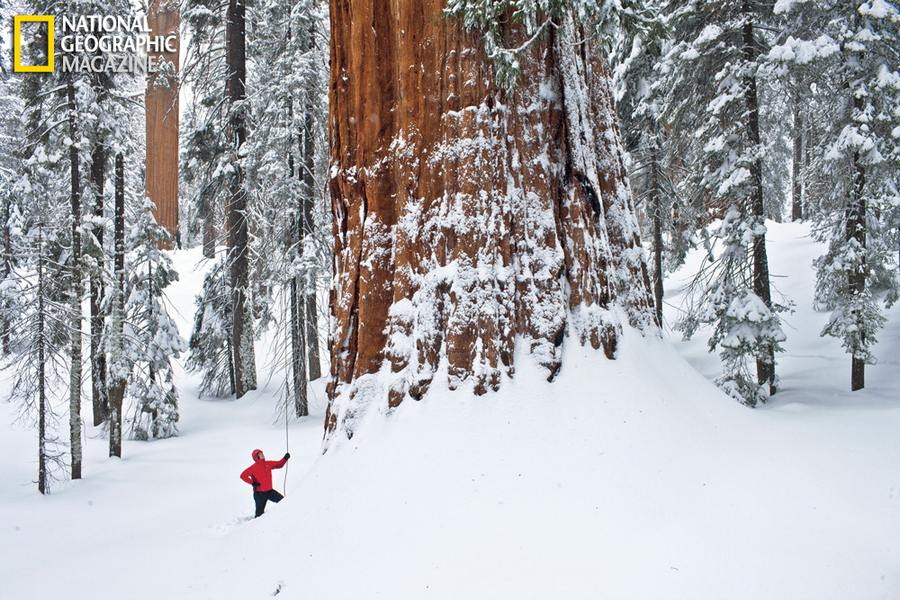 Giant Sequoias- worlds largest tree
