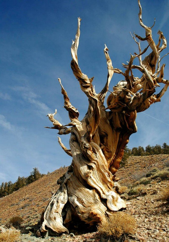 The Oldest Tree on the Planet
