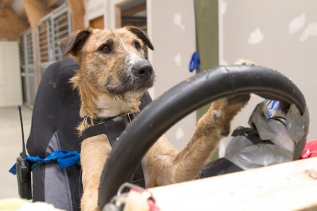 Dogs learn how to drive a car