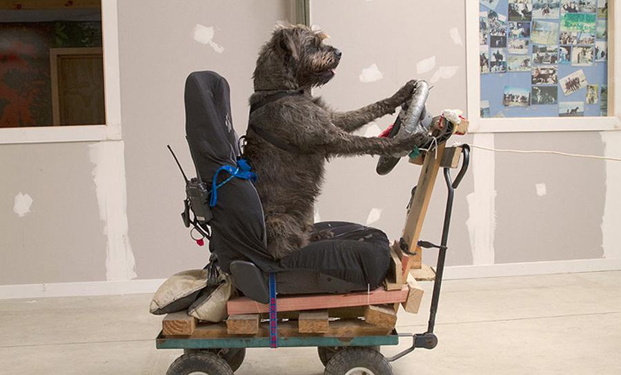 Dogs learn to drive a car in New Zealand | Learning Djembe
