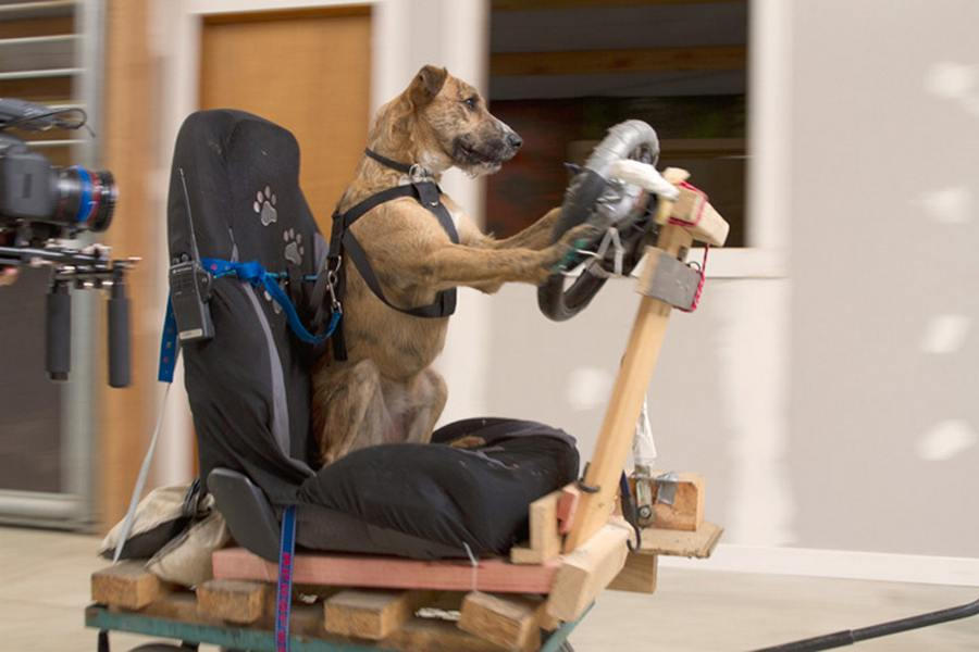 Dogs learn how to drive a car | wordlessTech