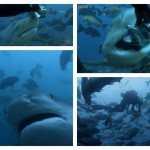 Bull Shark feeding in Fiji