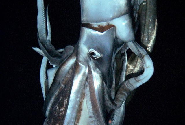 First-ever video of a live Giant Squid