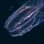 Glowing Lobed Comb Jelly