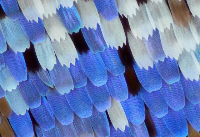 Butterfly wings- Papilio ulysses butterfly scales