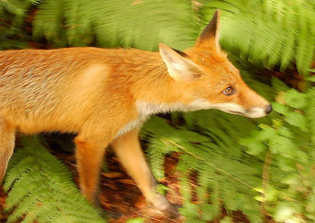 Adorable Red Fox