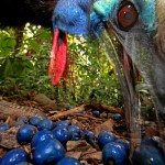 Award winning Southern Cassowary by Christian Ziegler