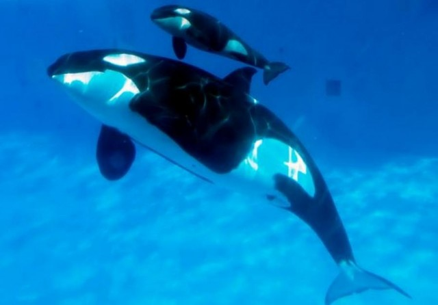 Birth of a killer whale