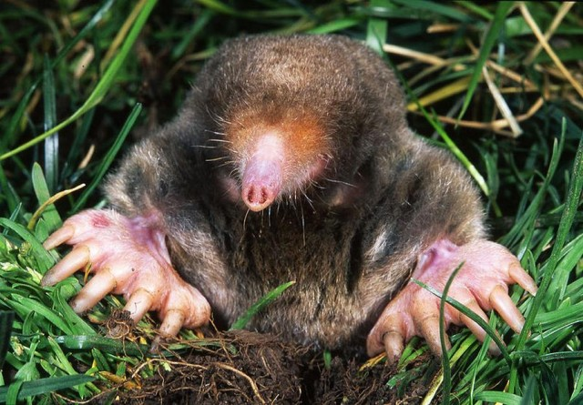 Blind Moles Smell in Stereo