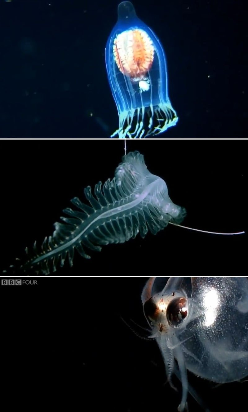 Deep sea creatures videos and fish on pinterest for Deep sea fishes