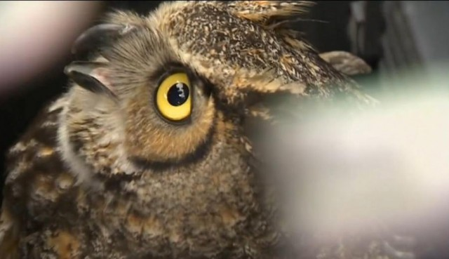 Owl stuck in car grille for days