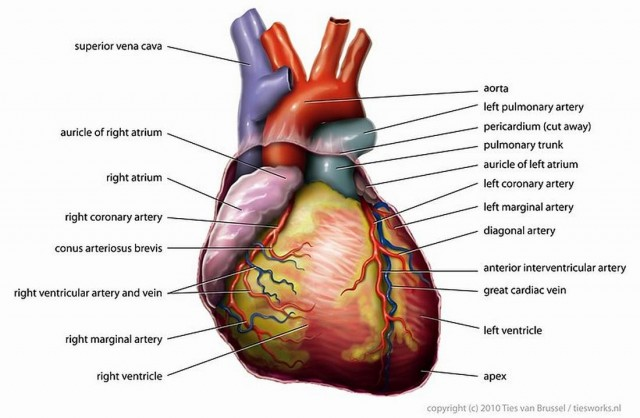 Prevent Heart Disease with these Healthy Tips (2)