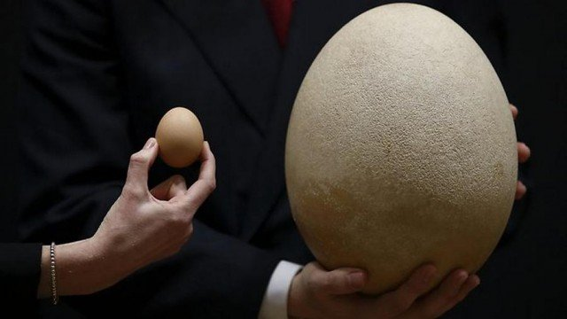 Giant Elephant bird egg