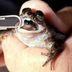Scientists resurrect extinct frog that gives birth thro...