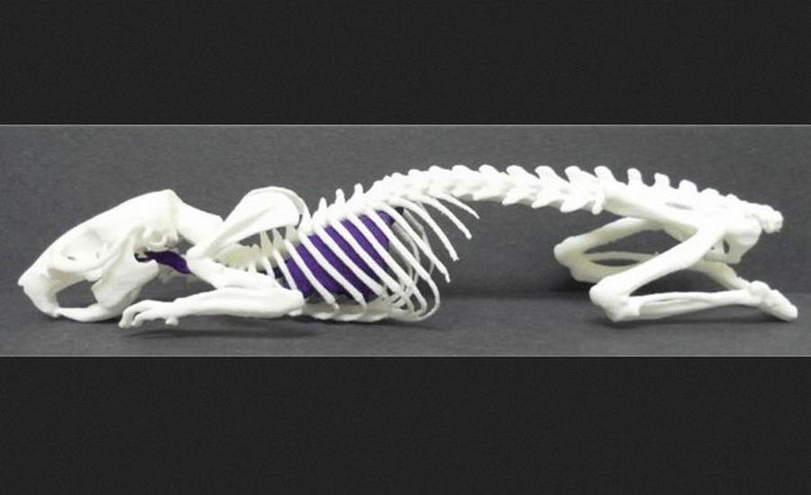 3-D Print the Skeleton of a Living Animal