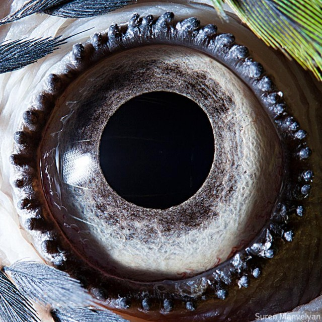 Blue-yellow macaw parrot eye