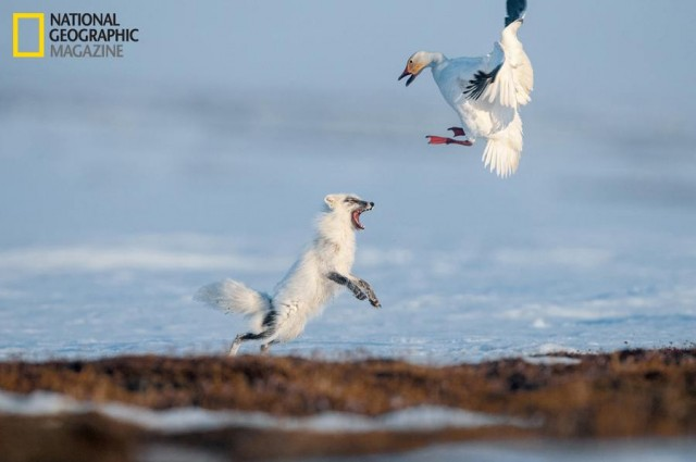Russian Refuge- fox drives a snow goose from her nest