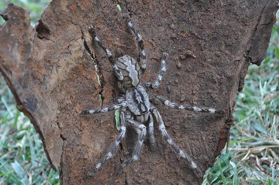 wordlessTech | Tarantula the size of a dinner plate discovered
