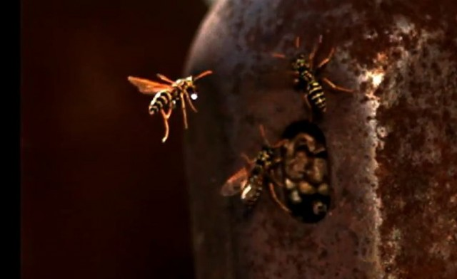 Wasp brings water to nest in slow motion