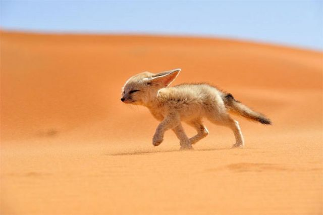 Fennec The Soul of The Desert. Photo and caption by Francisco Mingorance/National Geographic Traveler Photo Contest.