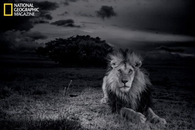 The Short Happy Life of a Serengeti Lion