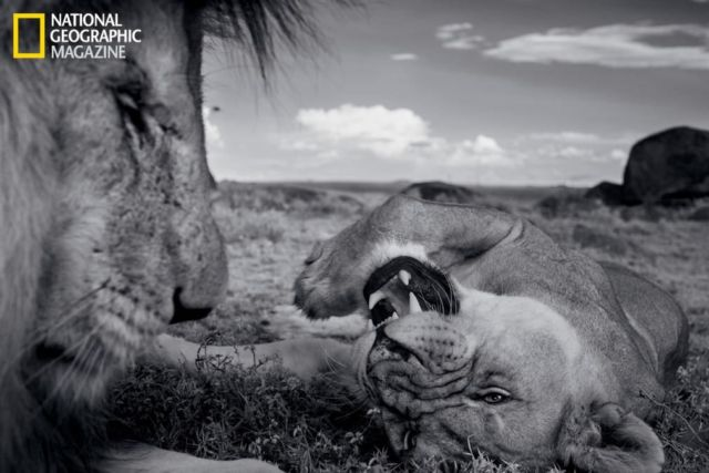 The Short Happy Life of a Serengeti Lion 3