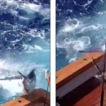 Blue Marlin Jumps into the boat